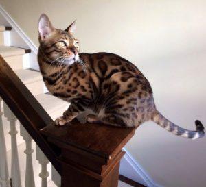 бенгальская кошка фото (11)