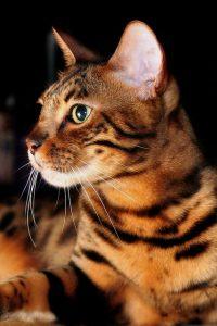 бенгальская кошка фото (12)