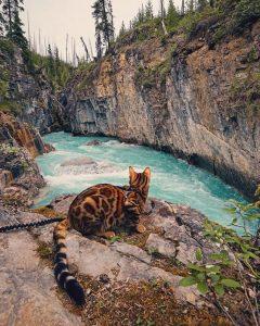 бенгальская кошка фото (14)