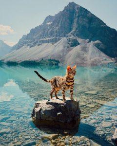 бенгальская кошка фото (15)