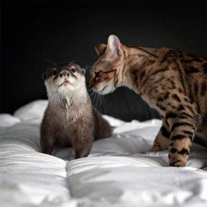 бенгальская кошка фото (17)