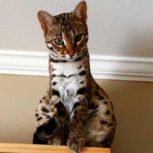 бенгальская кошка фото (18)