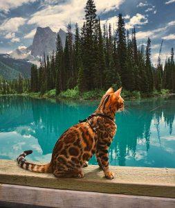 бенгальская кошка фото (19)