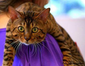 бенгальская кошка фото (3)