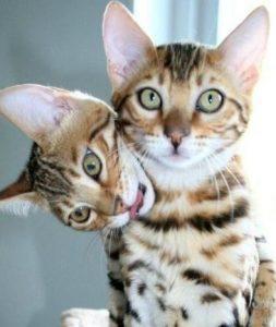 бенгальская кошка фото (5)