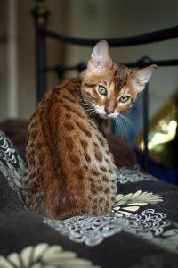 бенгальская кошка фото (6)