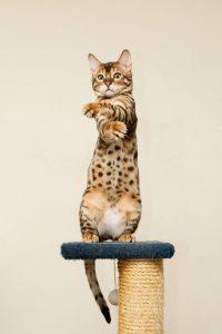 бенгальская кошка фото (7)