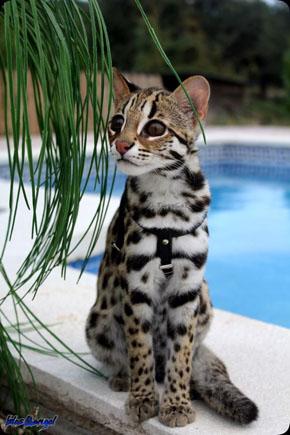 АЛК (Азиатская леопардовая кошка)