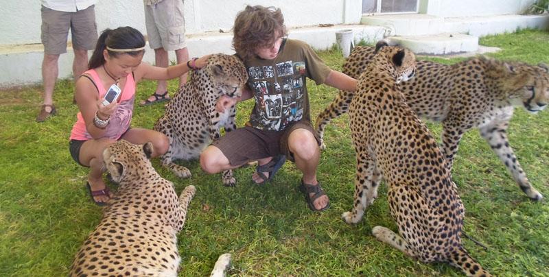 Гепард больше похож на собаку, а не на кошку