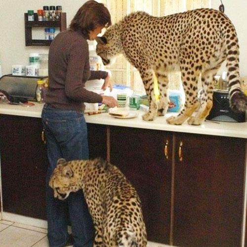 ТОП-10 диких кошек, которых  можно содержать дома