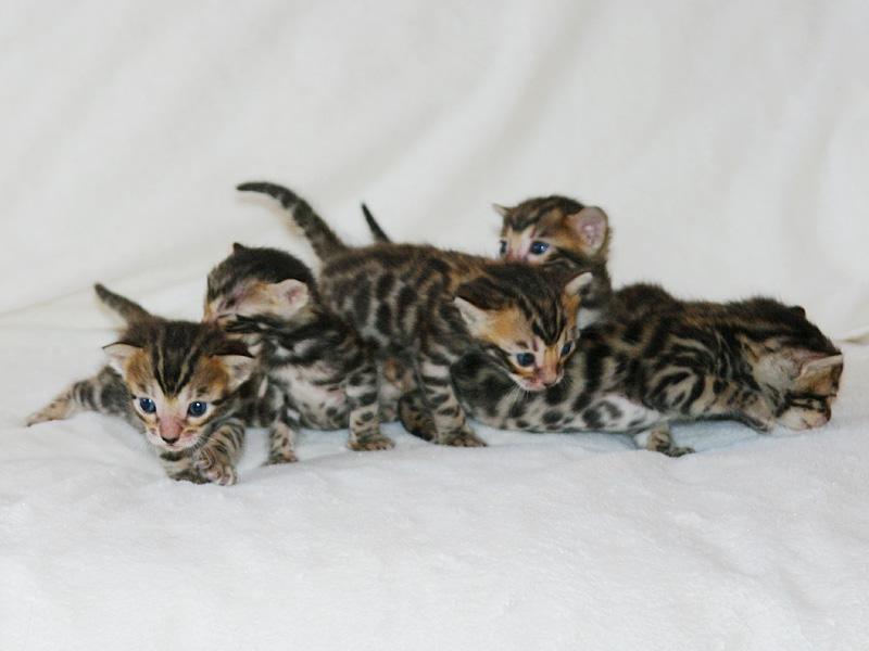 Новорожденные бенгальские котята