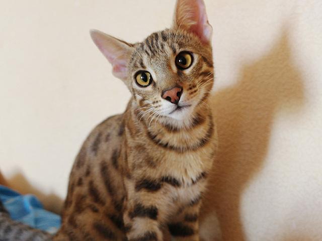 Гибрид бенгальской кошки второго поколения (Бенгал F2)