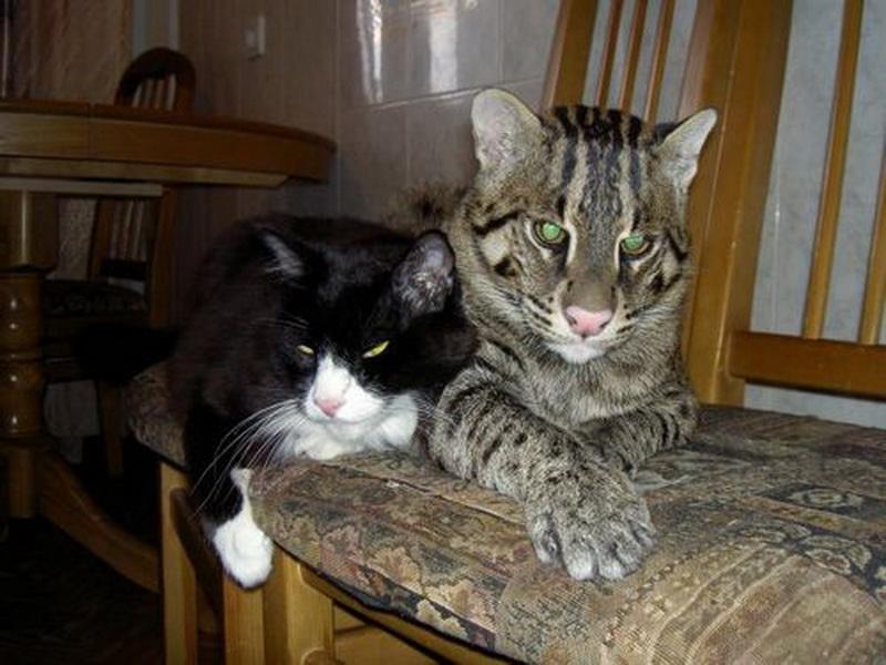 Виверровый кот-рыболов дома