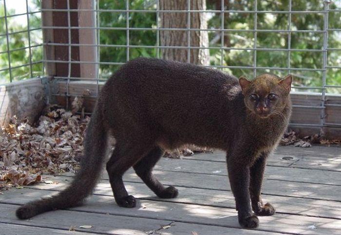Ягуарунди – особенная кошка