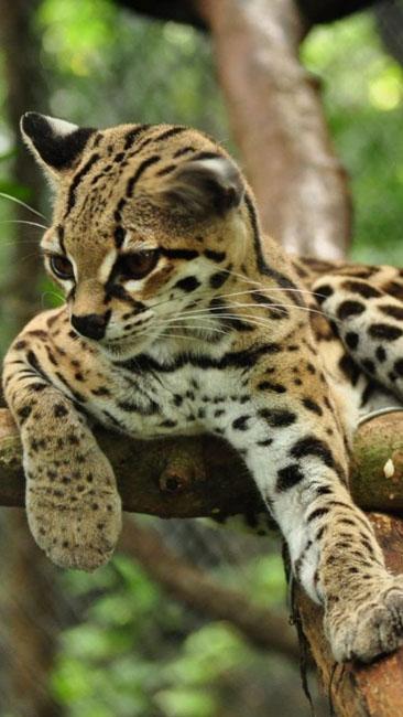 Азиатская Леопардовая кошка (АЛК)