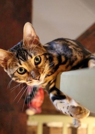 bengal cat5