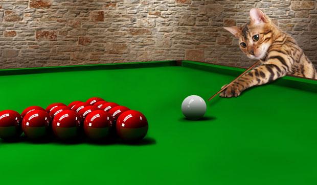 Бенгальская кошка Симба играет в бильярд