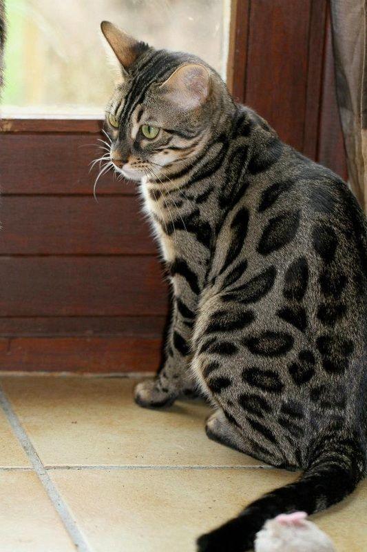 Самые красивые кошки бенгальской породы
