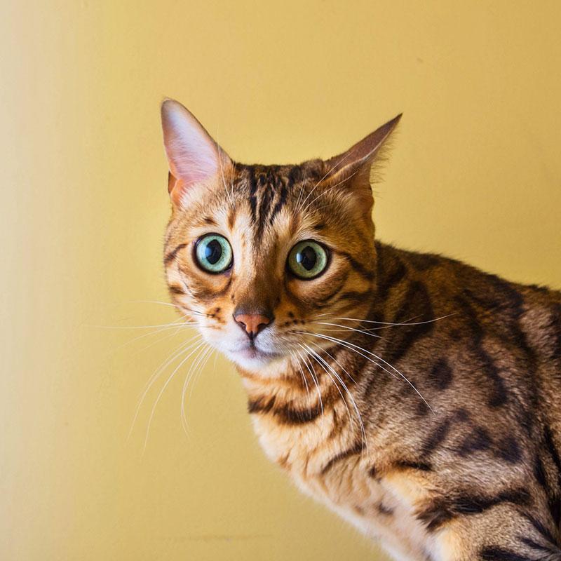 Фото бенгальская кошка