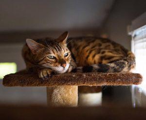 Фото питомник бенгальских кошек