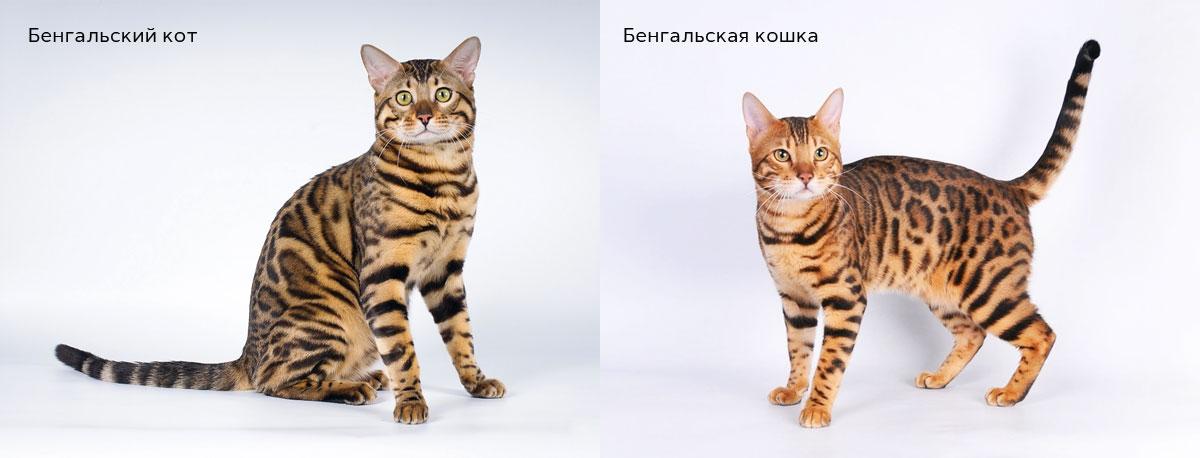 Бенгальский кот или Бенгальская кошка?