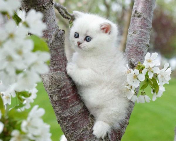 Любопытный британский котенок тайно наблюдает за происходящим