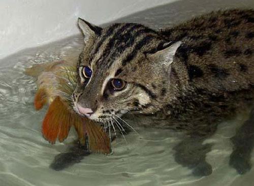 Джамби (кот-рыболов)