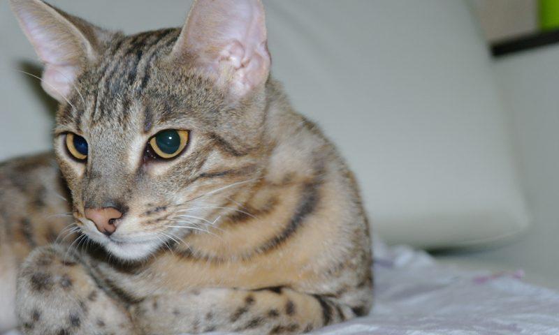бенгальская кошка-гибрид ДЛК