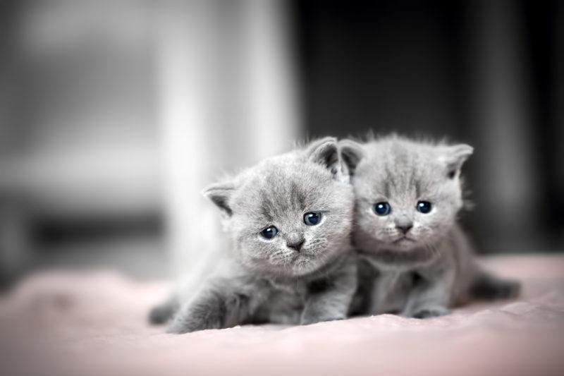 Британские котята забавные