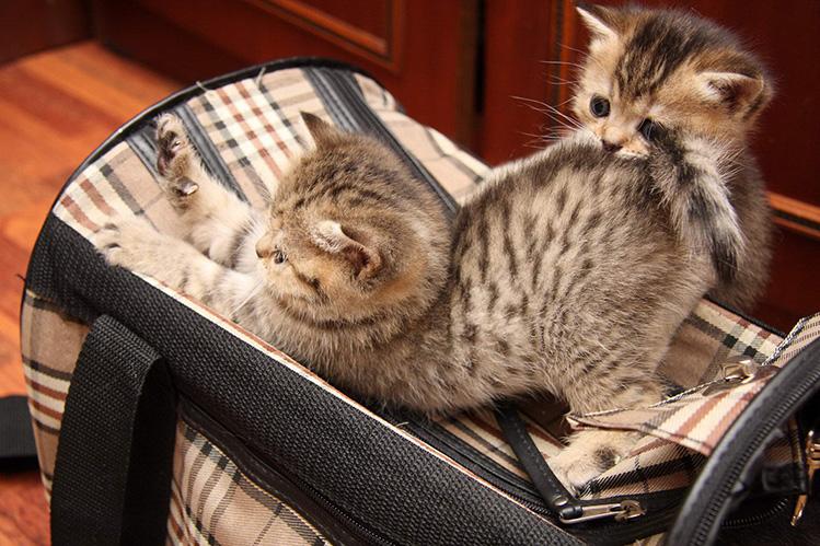 Как научить кошку не бояться переноски