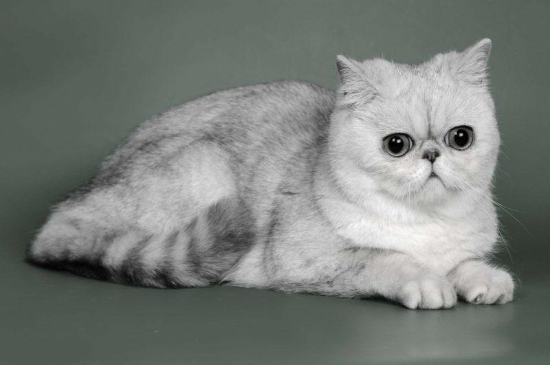 Экзотическая короткошерстая кошка