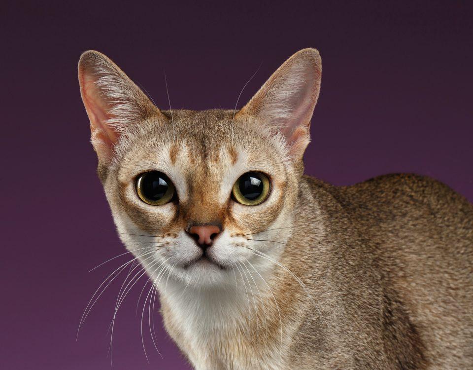 Гладкошерстные породы кошек с фотографиями и названиями