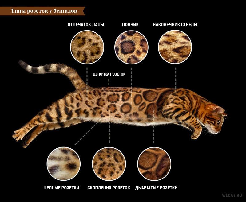 типы розеток у Бенгальской кошки