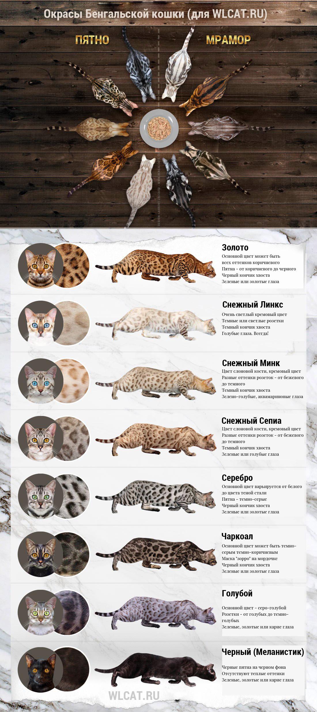 Окрасы бенгальской кошки, цвета и узоры