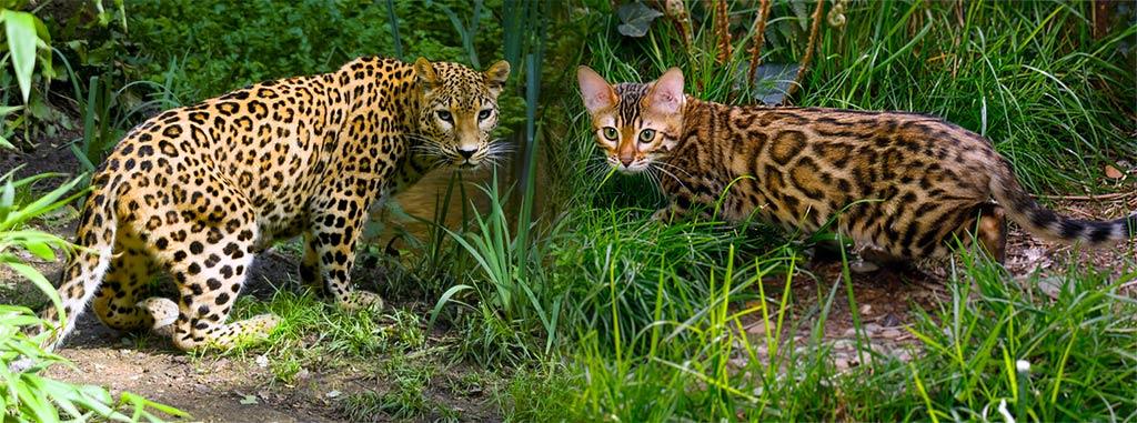 Бенгальский кот и Леопард