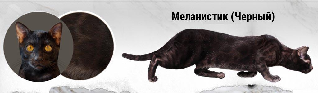 Черная (Меланистик) Бенгальская кошка