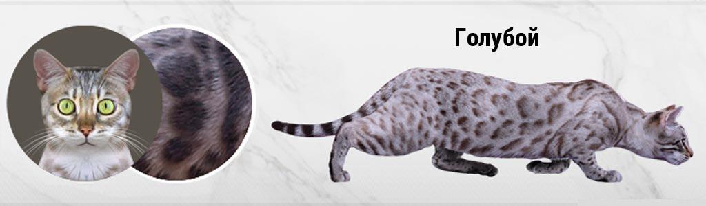 Голубая Бенгальская кошка