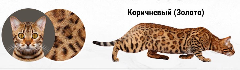 Коричневая (золотая) Бенгальская кошка