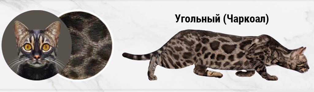 Угольная (Чаркоал) бенгальская кошка