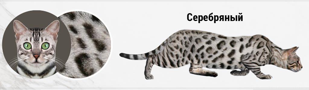 Серебряная бенгальская кошка