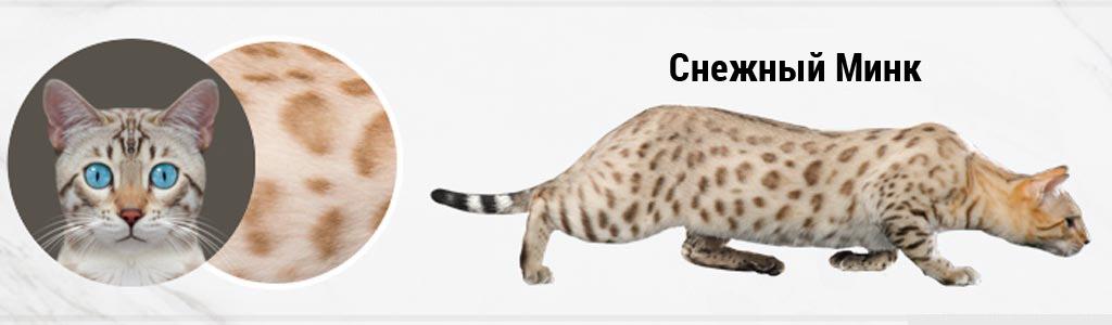 Бенгальская кошка Снежная Минк