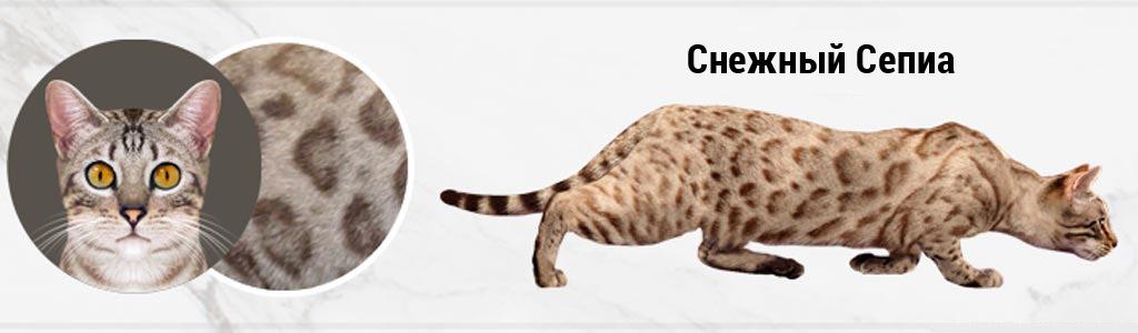 Бенгальская кошка Снежная Сепиа