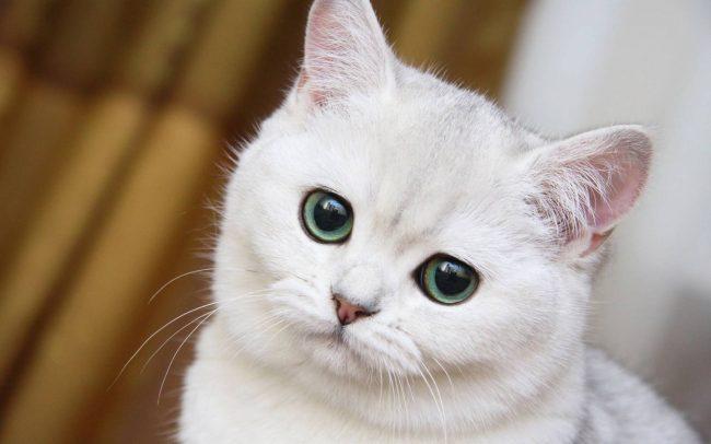 Что делать, если у кота лысеют уши?