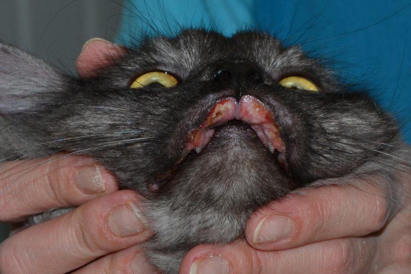 Язва Якобса у кошек: причины появления