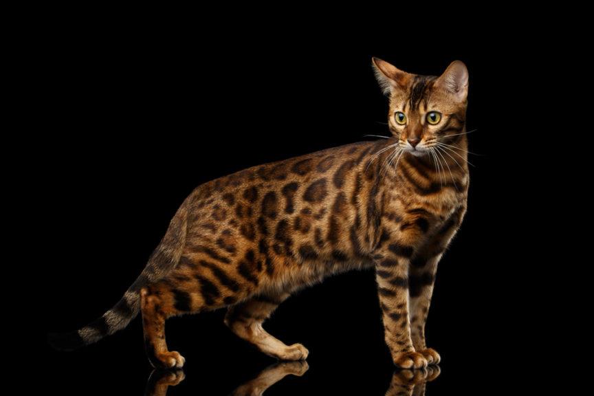 бенгальская кошка золото
