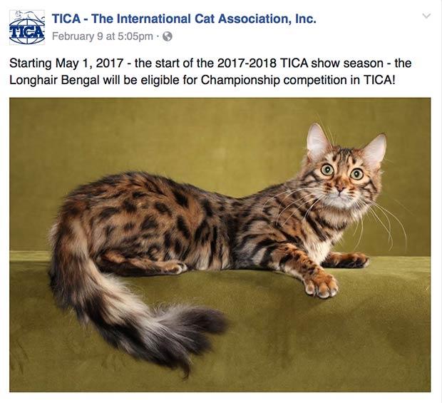 Длинношерстная Бенгальская Кошка – Кашмировый бенгал
