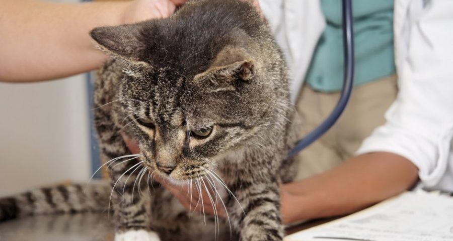 Подкожный клещ (демодекоз) у кошек