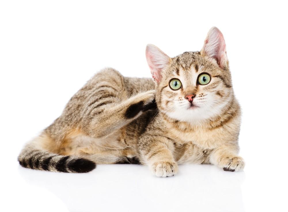 Лечение демодекоза у кошек