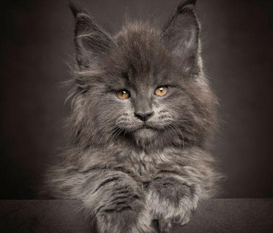 О породе кошек мейн-кун