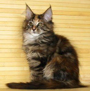 Цена Мейн-куна, сколько стоит котенок Мейнкун